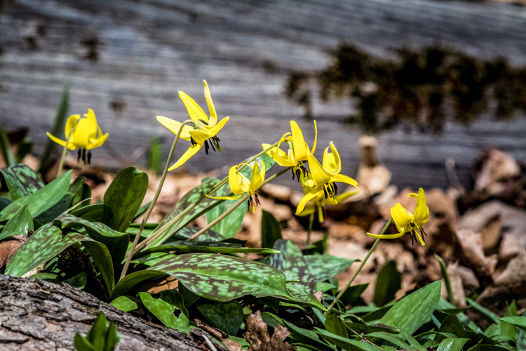 Yellow Trout Lily © Richard Welch
