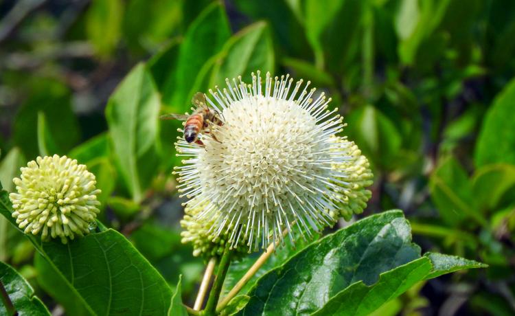 Buttonbush © Cristina Hartshorn