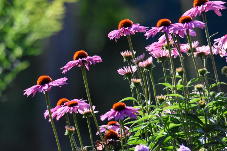 Echinacea (Conflowers) © Diana Stephens-Talbot