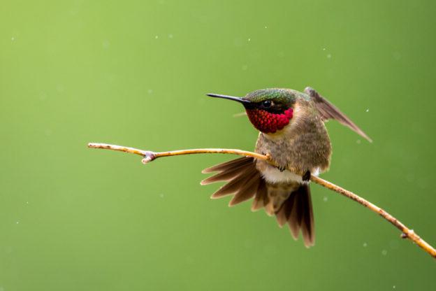 Ruby-throated Hummingbird © Phil Sorrentino