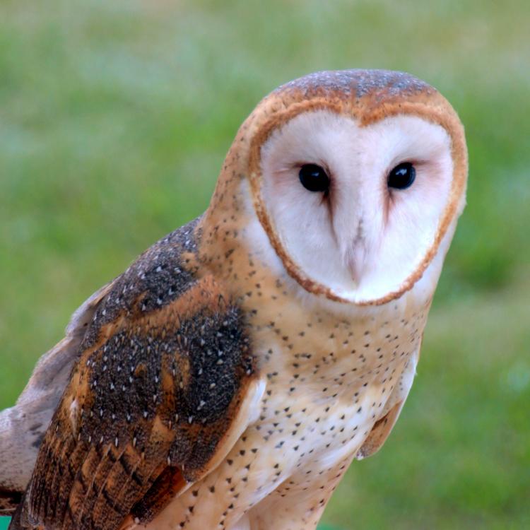 Barn Owl © Victor Simas