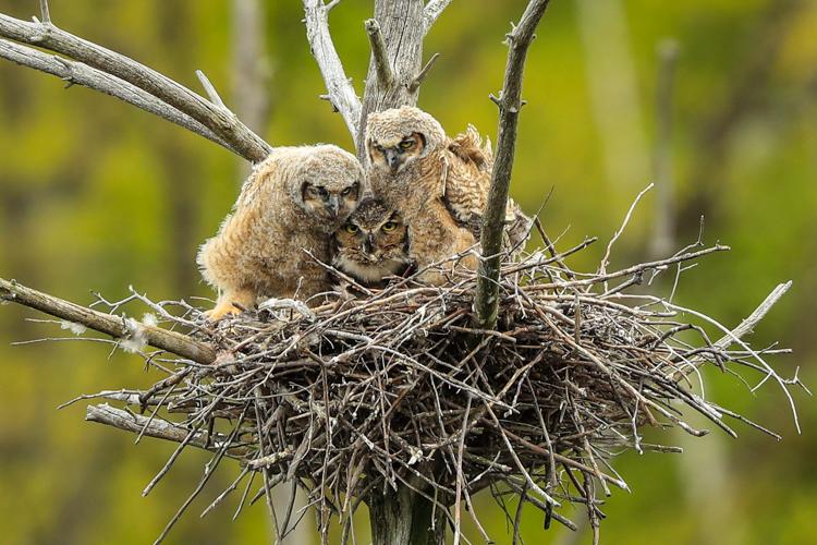 Great Horned Owls © Jim Renault