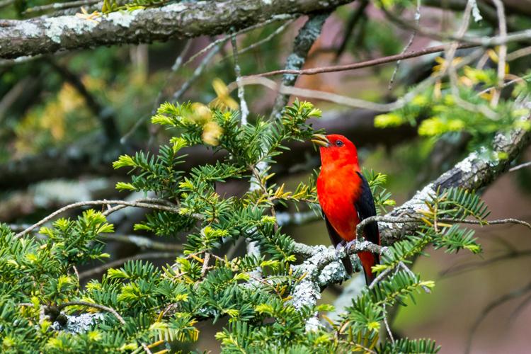 Scarlet Tanager © Jeff Carpenter