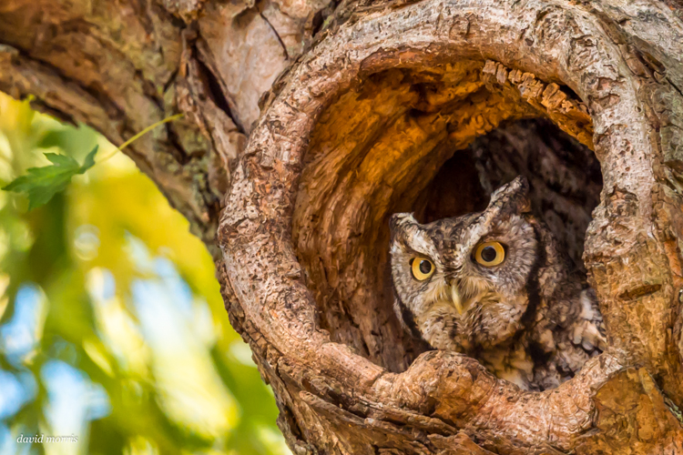 Eastern Screech-owl © David Morris