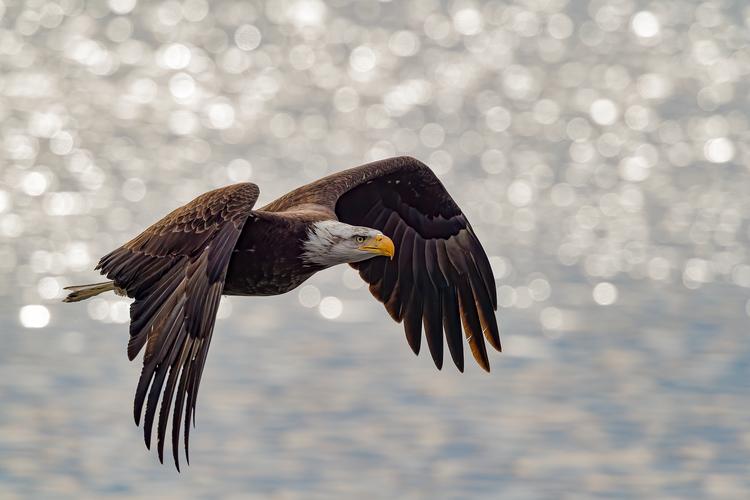 Bald Eagle Flying © David Morris