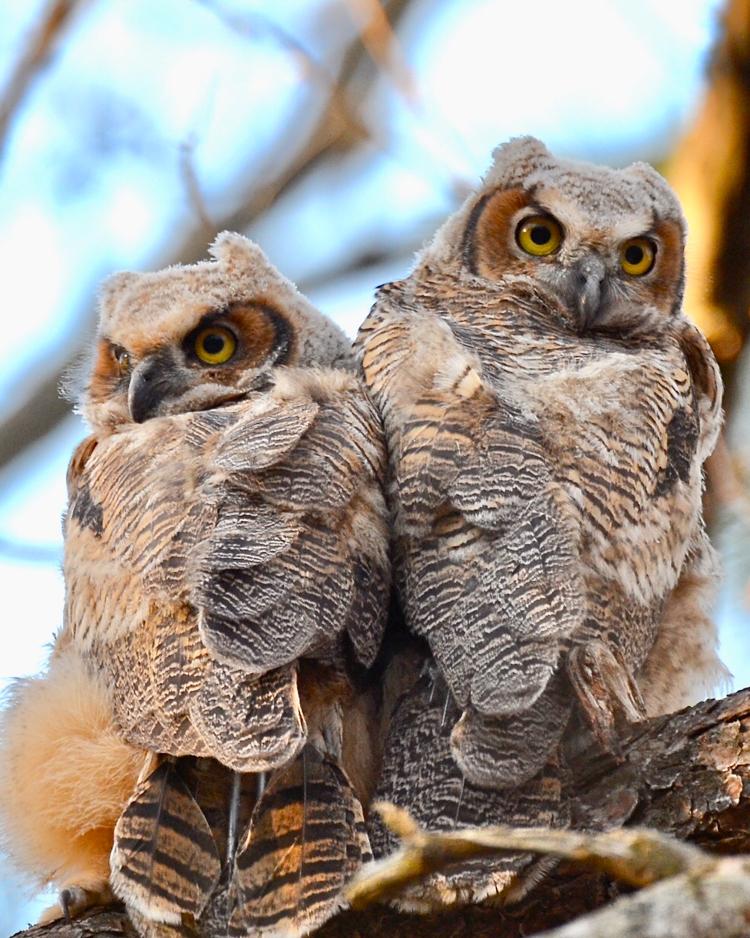Great Horned Owls © Rick Olick