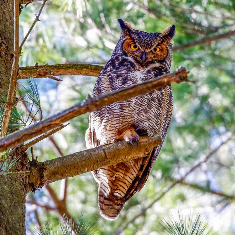 Great Horned Owl © Katherine Sayn-Wittgenstein