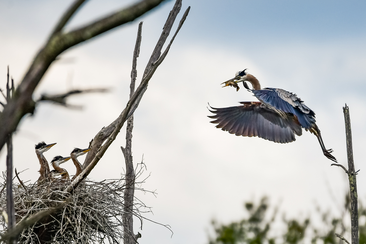 Great Blue Heron with fish in mouth flying to nest with three young Great Blue Herons. Copyright Joe Howell