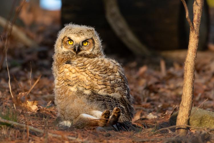 Great Horned Owl © Scott Creamer
