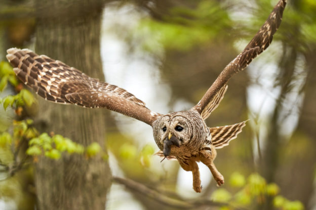 Barred Owl © Jenny Zhao