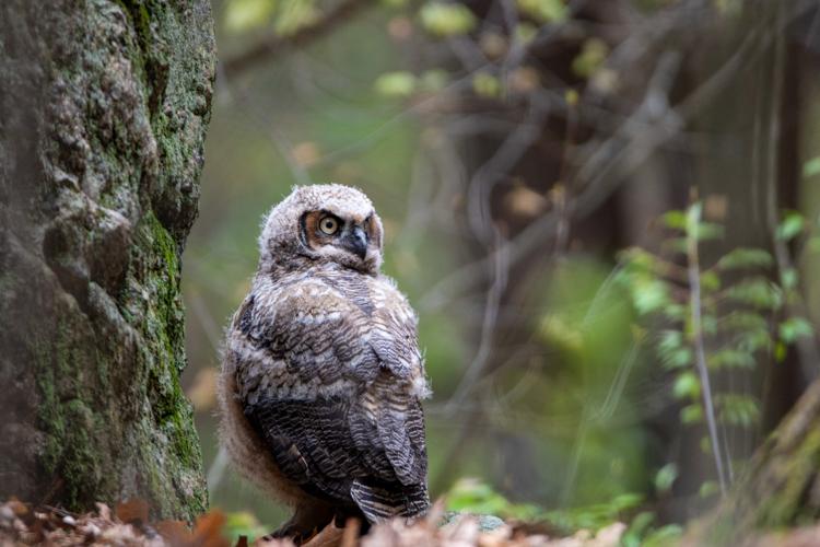Great Horned Owl © Jason Goldstein