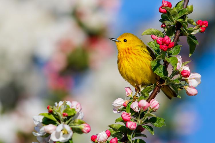 Yellow Warbler © Jason Gilbody