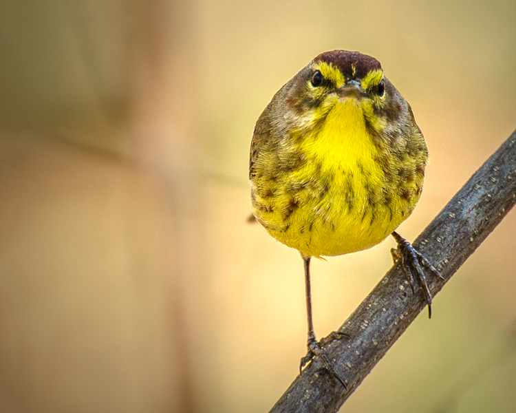 Palm Warbler © Mary Dineen