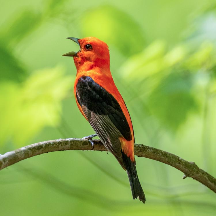 Scarlet Tanager © Matt Sabourin