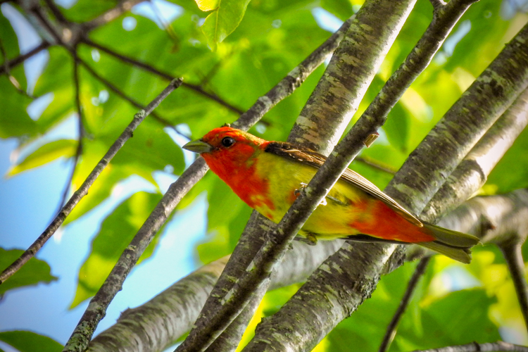 Scarlet Tanager © Elizabeth Watson