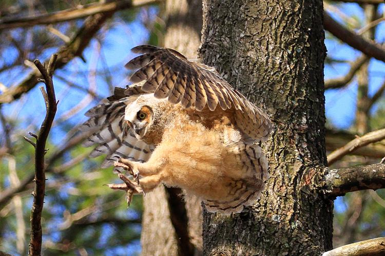 Great Horned Owl © John Harrison
