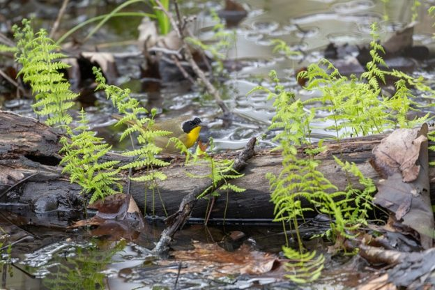 Common Yellowthroat surrounded by ferns in water
