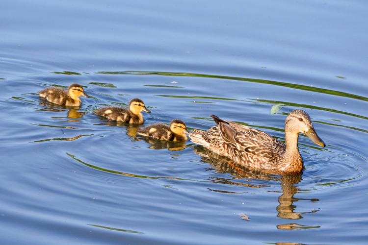 Mallard mother and ducklings © Hien Nguyen