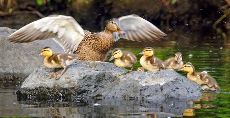 Mother Mallard and ducklings © Derrick Jackson