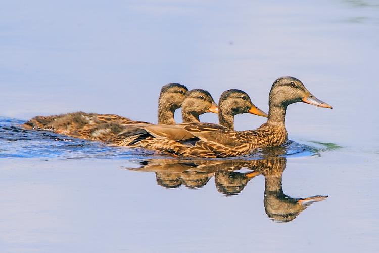 Mother mallard and fledglings © Doug Pederson