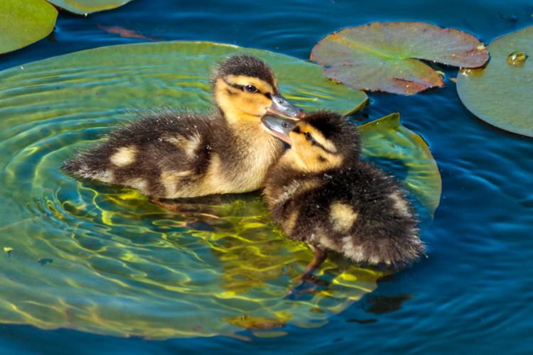Mallard ducklings © Laura Ferraguto