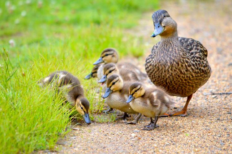 Mother Mallard and ducklings © Martin Culpepper
