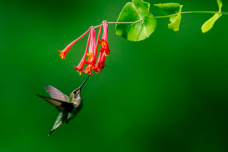 Ruby-throated Hummingbird feeding on trumpet honeysuckle © Sue Feldberg