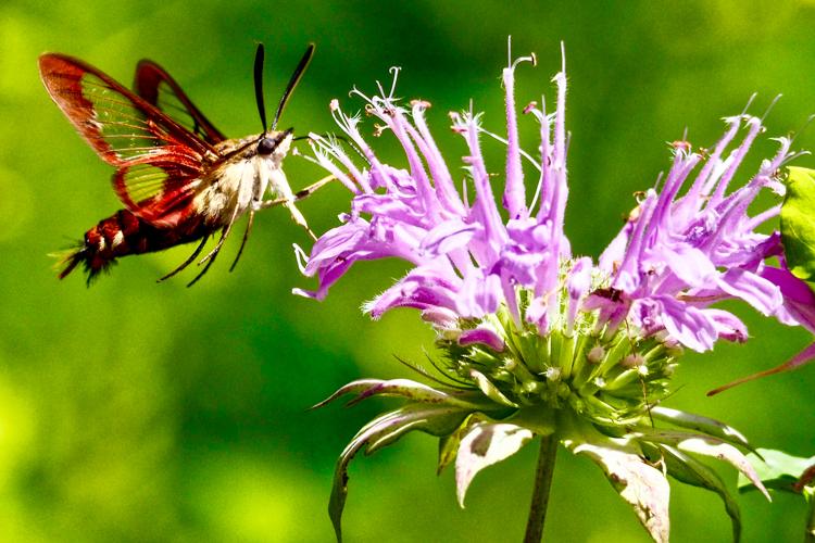 Hummingbird Clearwing Moth on beebalm © Lynne Harding