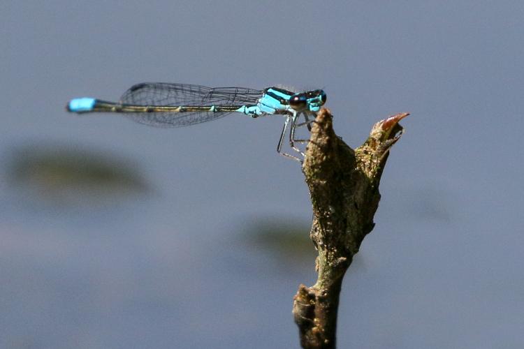 Skimming Bluet © Kim Nagy