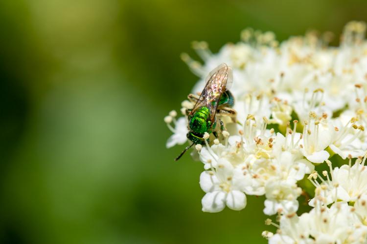 Green Sweat Bee on Viburnum sp.