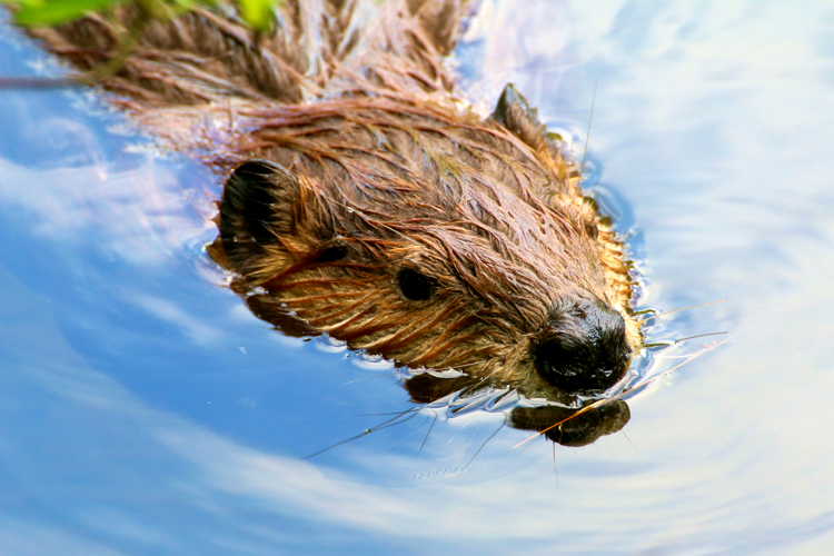 Beaver © Lori Lynes