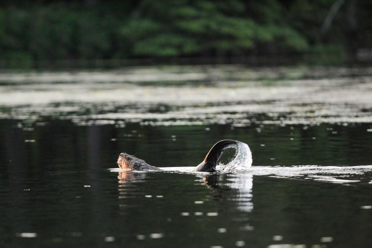 Beaver © David LaPointe