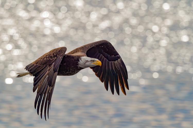 Bald Eagle © David Morris