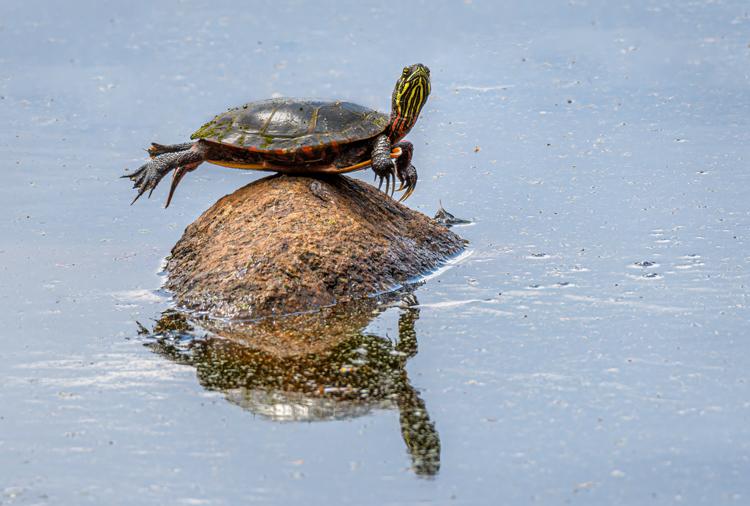 Painted Turtle © Ellen Kawadler