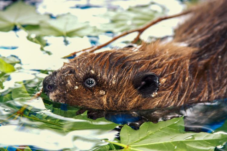 Beaver © Rachel Perry