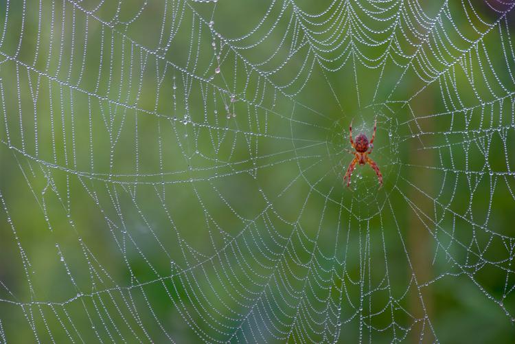 Spider in dew covered web © John Yurka