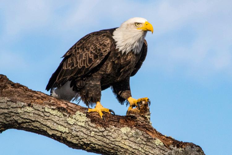 Bald Eagle © Paula Gentile