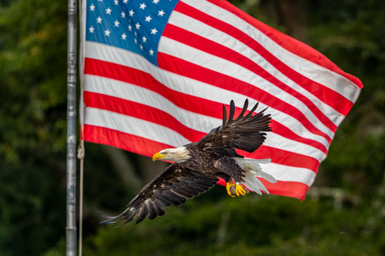 Bald Eagle © Brendon Curtis