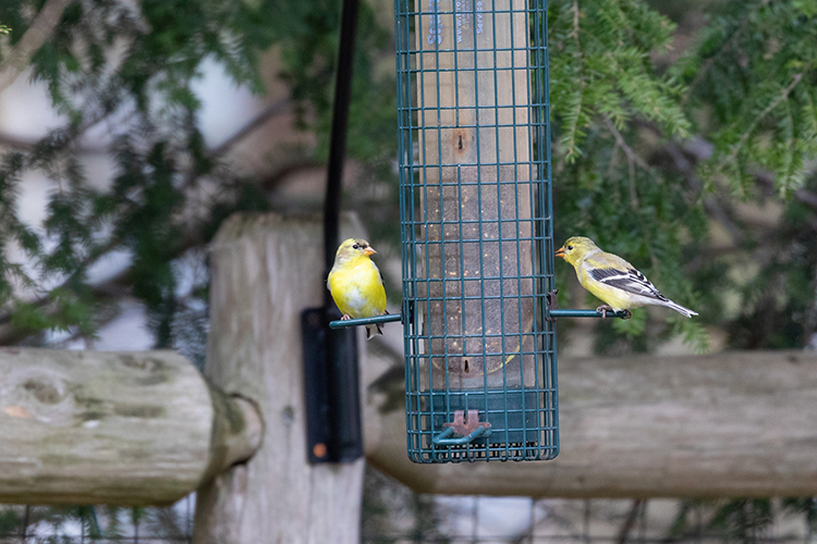 Two American Goldfinches at a bird feeder