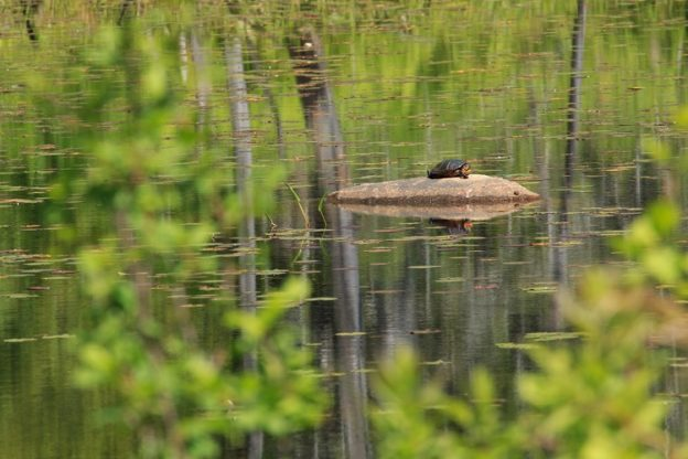 Turtle on a rock at Waseeka Wildlife Sanctuary