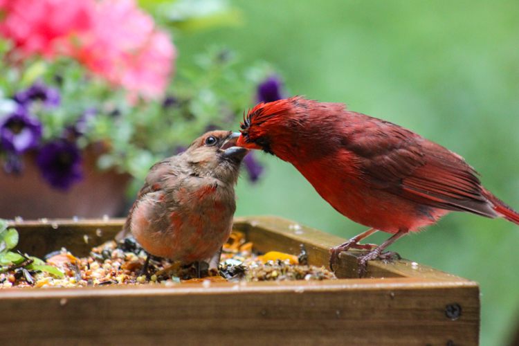 Northern Cardinals at a platform feeder © Karen Owens-Linehan