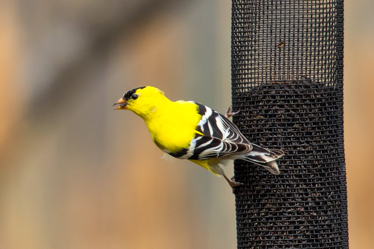 American Goldfinch at a nyjer (thistle) feeder © Anindya Sen