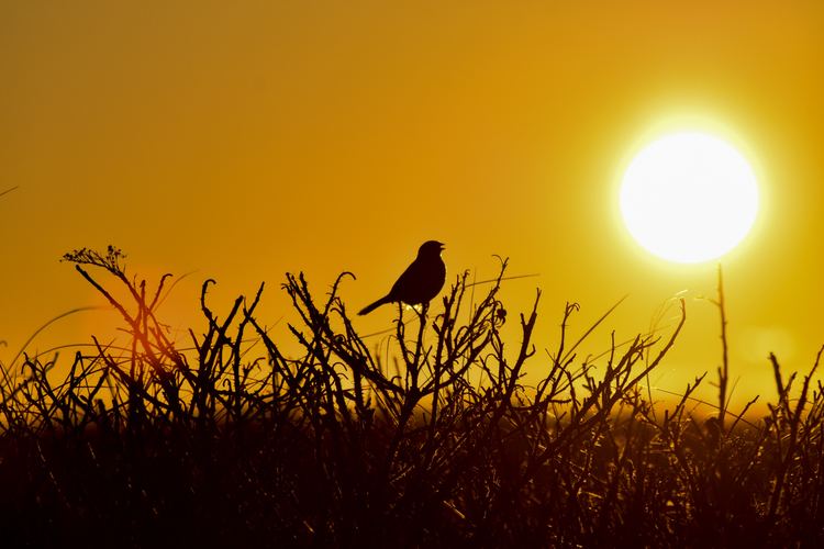 bird on grass and twigs in silhouette with bright sun in the background