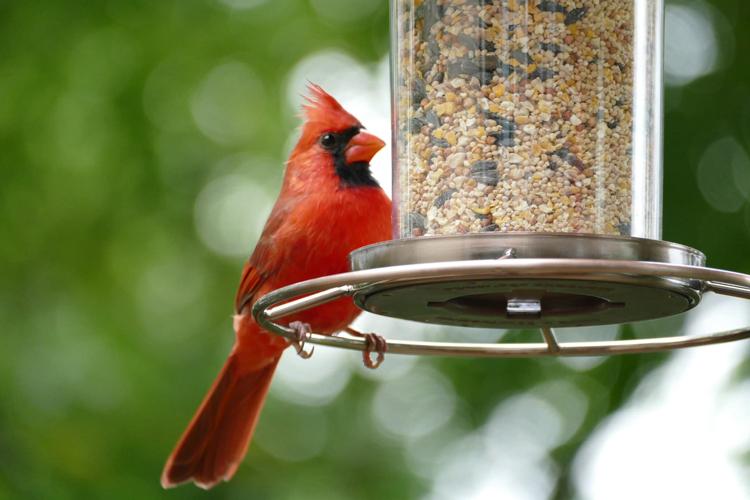 Northern Cardinal at a seed feeder © Andrea Kremer