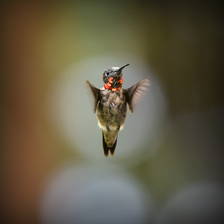 Ruby-throated Hummingbird © Karen Wilcox