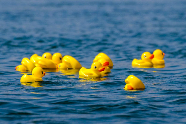 """Rare """"Golden Racing Ducks"""" found only at Allens Pond"""