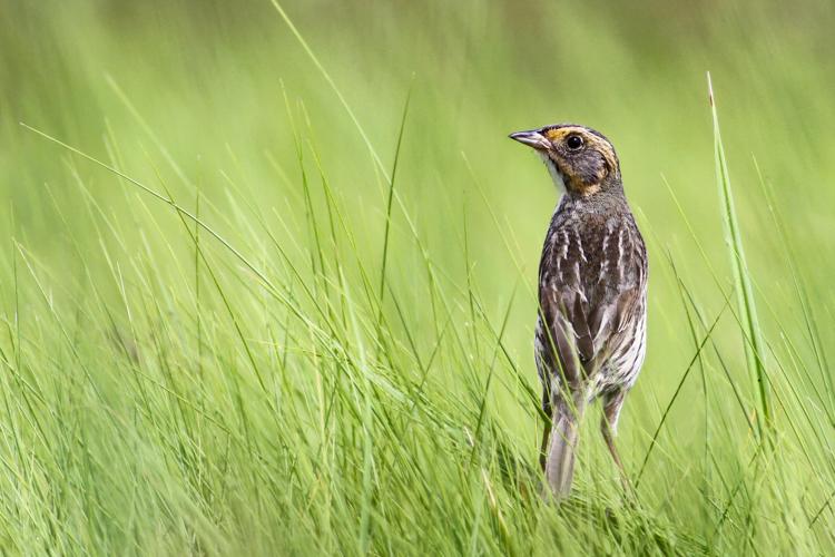 Saltmarsh Sparrow © Andy Eckerson