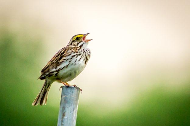 Savannah Sparrow © Phil Doyle