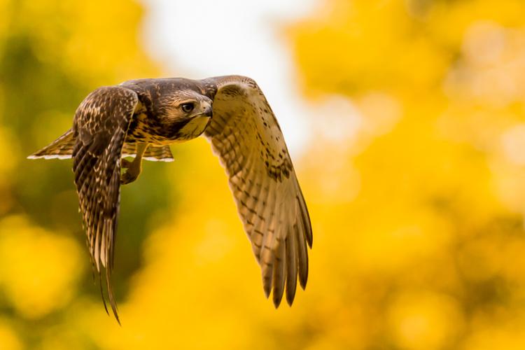 Red-tailed Hawk in fall © David Morris