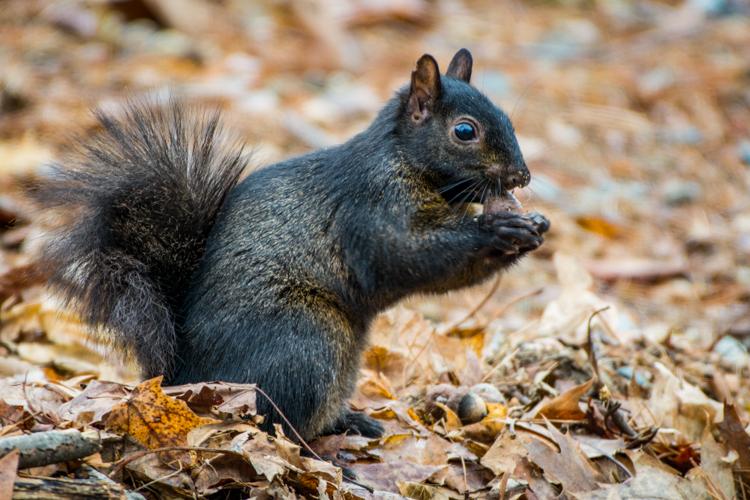 Eastern Gray Squirrel (black morph) gathering acorns © Claudia Carpinone
